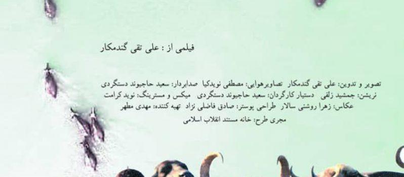 پوستر مستند کوتاه گاومیش حیوان نجیبی است به کارگردانی علی تقی گندمکار